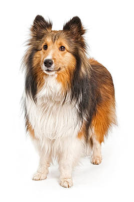 Herding Dog Photograph - Shetland Sheepdog Dog Isolated On White by Susan Schmitz