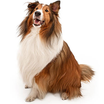 Shetland Sheepdog Isolated On White Art Print