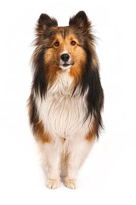 Herding Dog Photograph - Shetland Sheepdog Looking At Camera by Susan Schmitz