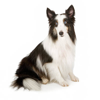 Shetland Sheepdog With Blue Eyes Stock Photo  Art Print