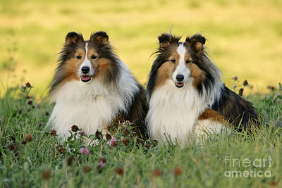 Photograph - Shetland Sheepdogs by Rolf Kopfle