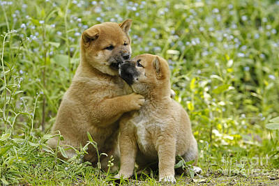 Photograph - Shiba Inu Puppies by Jean-Michel Labat