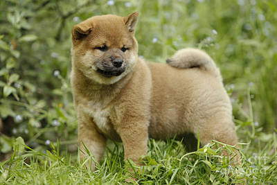 Japanese Puppy Photograph - Shiba Inu Puppy Dog by Jean-Michel Labat