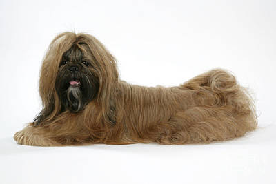 Shih-tzu Dog Art Print by John Daniels