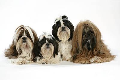 Shih-tzu Dogs Art Print by John Daniels