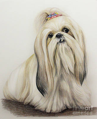 Prismacolor Drawing - Shih Tzu by Lena Auxier