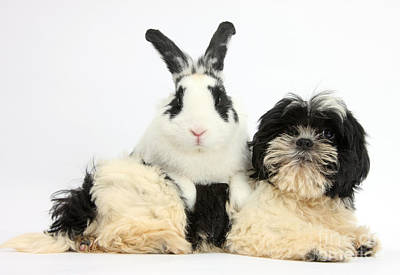 House Pet Photograph - Shih-tzu Pup And Rabbit by Mark Taylor