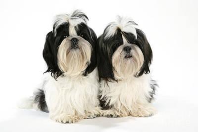 Shih-tzu Puppy Dogs Art Print by John Daniels