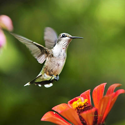 Photograph - Shimming Breeze Hummingbird Square by Christina Rollo