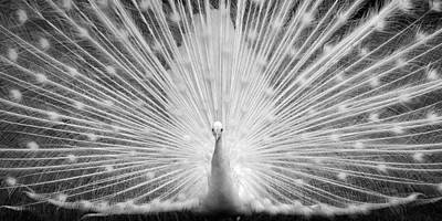 Peacock Photograph - Shining White Peacock by Patrick Jacquet