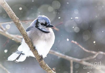 Stellar Interstellar - Shiny Blue Jay by Cheryl Baxter