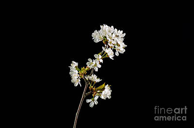 Photograph - Shiny Cherry Blossom by Kennerth and Birgitta Kullman
