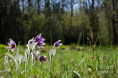 Photograph - Shiny Pasque Flowers by Kennerth and Birgitta Kullman