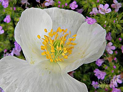 Photograph - Shirley Poppy And Thyme by Chris Berry