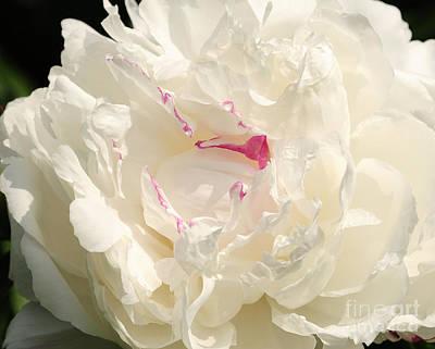 Shirley Temple Photograph - Shirley Temple Peony by Olivia Hardwicke
