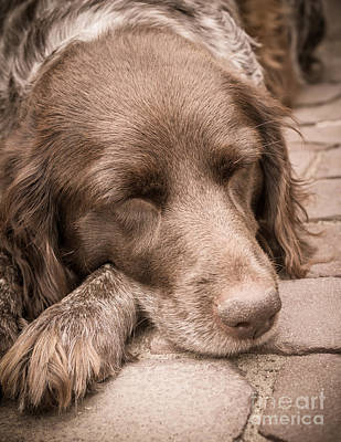 Shishka Dog Dreaming The Day Away Art Print by Peta Thames