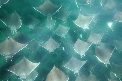 Shoal Of Smoothtail Mobula Rays Art Print by Christopher Swann