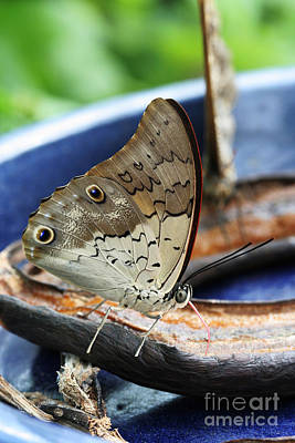 Tropical Photograph - Shoemaker Butterfly  by Judy Whitton