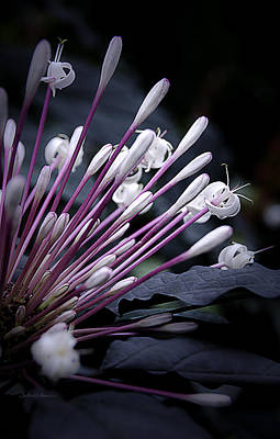 Photograph - Shooting Stars Clerodendron by Julie Palencia