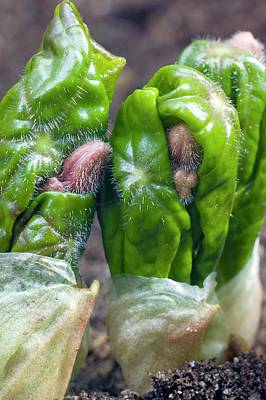 Shoots Of Podophyllum Versipelle Art Print by Dr Jeremy Burgess