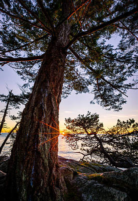 Point Photograph - Shore Pine Point by Alexis Birkill