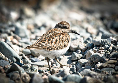 Photograph - Shorebird Beauty by Cheryl Baxter