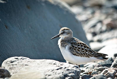 Photograph - Shorebird by Cheryl Baxter