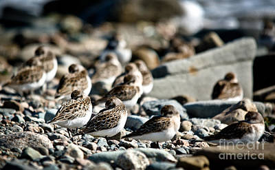 Photograph - Shorebird Rest Time by Cheryl Baxter