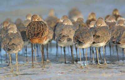 Photograph - Shorebirds At Flamingo Bay by Karen Lindquist