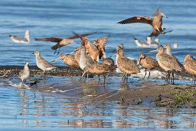 Photograph - Shorebirds Flocking At Bodega Bay by Kathleen Bishop