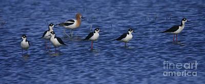 Photograph - Shorebirds In Blue by John F Tsumas