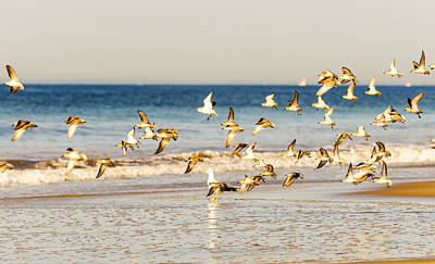 Photograph - Shorebirds Take To The Air by Maureen E Ritter