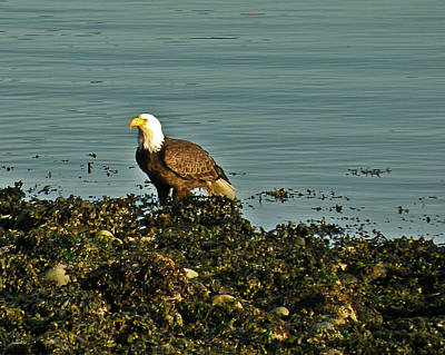 Photograph - Shoreline Bald Eagle by Brian Chase