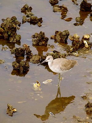 Photograph - Shoreline Bird And Oysters by Sheri McLeroy