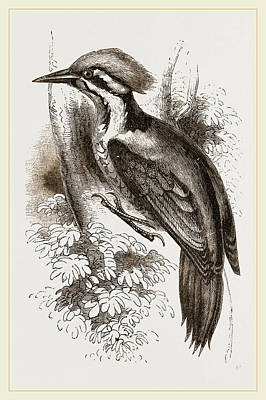 Woodpecker Drawing - Shores Woodpecker by Litz Collection