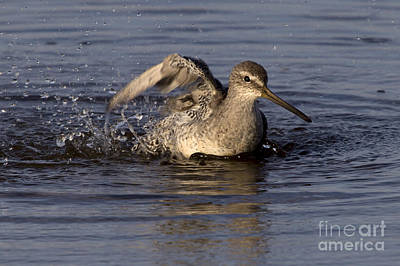 Photograph - Short Billed Dowitcher Taking A Bath by Meg Rousher