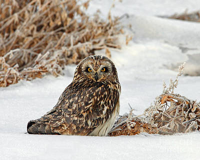 Photograph - Short Eared Owl by Bill Singleton