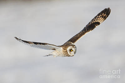 Photograph - Short-eared Owl Flying Iv by Clarence Holmes