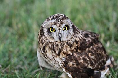 Hunting Owl Photograph - Short Eared Owl Hunting by Dan Sproul