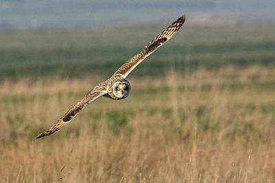 Sheppey Photograph - Short Eared Owl by Ian Hufton