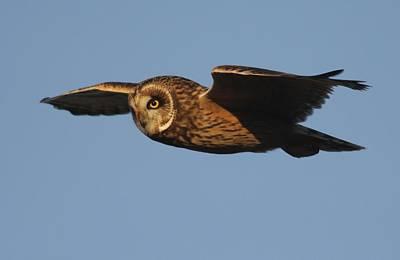 Photograph - Short-eared Owl by Joe Sweeney