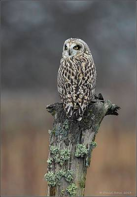 Photograph - Short Eared Owl Perched by Daniel Behm