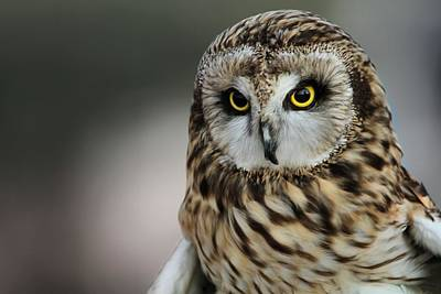 Photograph - Short Eared Owl Portrait by Dan Sproul
