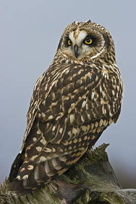Bird Of Prey Photograph - Short Eared Owl by Rob Mclean