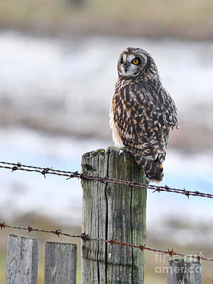 Photograph - Short Eared Owl by Sharon Talson