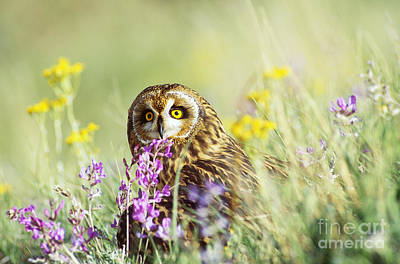 Photograph - Short Eared Owl by Tom and Pat Leeson