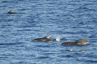 Photograph - Short Finned Pilot Whales by Bradford Martin