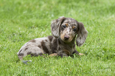 Photograph - Short-haired Dachshund Puppy by John Daniels