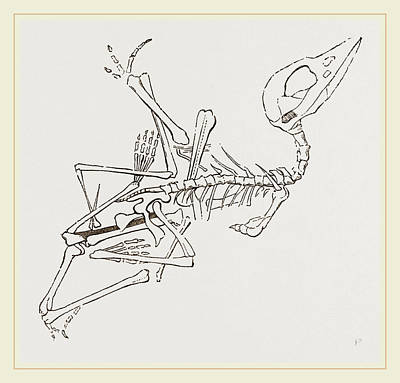 Pterodactyle Drawing - Short-muzzled Pterodactyle by Litz Collection