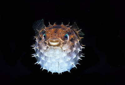 Porcupine Fish Photograph - Short-spined Porcupinefish by Jeff Rotman
